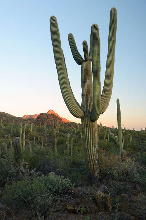 USA,Arizona,Tucson, Saguaro National Park, saguaro cactus at dawn,
