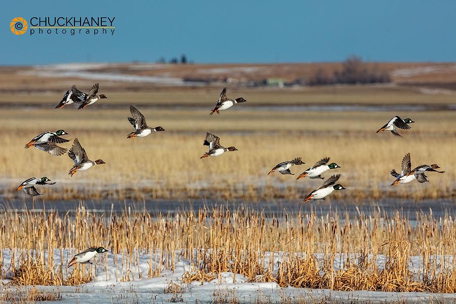 Common goldeneye ducks at Freezeout Lake WMA near Choteau, Montana, USA