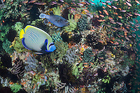 Emperor Angelfish and other reef fish amongst teeming corals and feather stars<br /> <br /> Shot in Indonesia