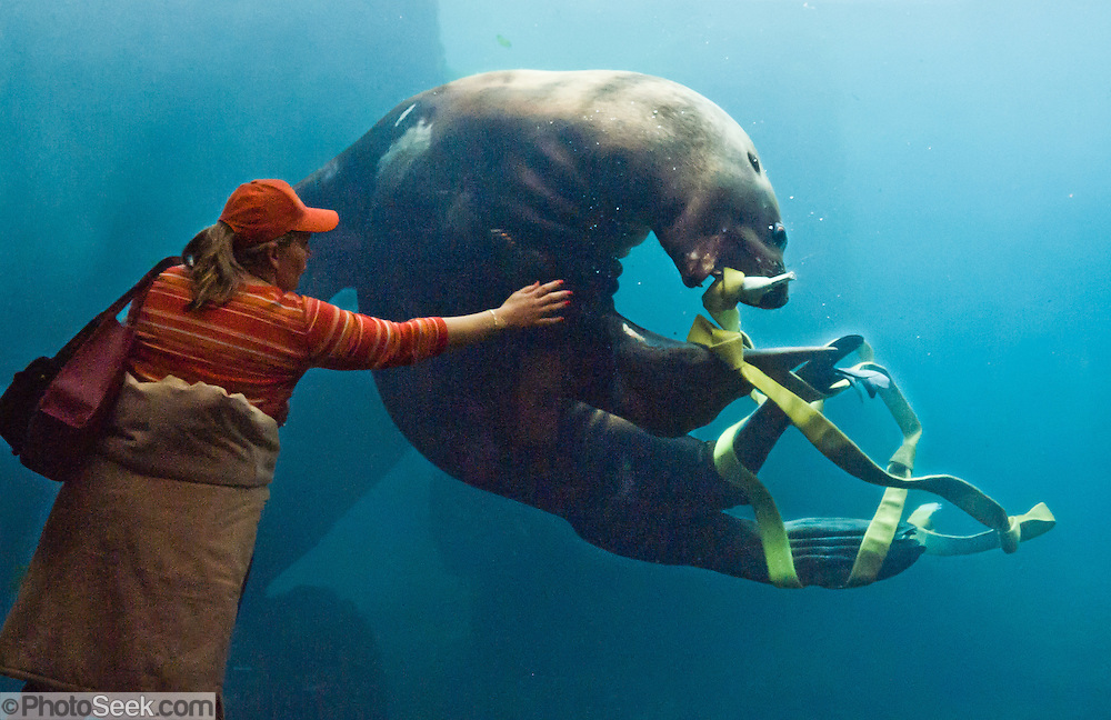 "A woman reaches for a Steller Sea Lion (Eumetopias jubatus, or northern sea lion) playing with a firehose in an aquarium tank at the Alaska Sealife Center, Seward, Alaska. Steller Sea Lions are an endangered species in parts of Alaska and threatened elsewhere in the Pacific Northwest USA. Published in ""Light Travel: Photography on the Go"" by Tom Dempsey 2009, 2010."