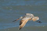 Marbled godwit (Limosa fedoa)<br /> Little St Simon's Island, Barrier Islands, Georgia<br /> USA<br /> HABITAT & RANGE: Mudflats, marshes and beaches of Americas