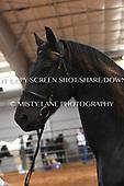 26. FRIESIAN SPORT HORSE IN-HAND - GO