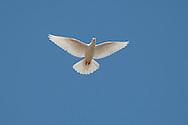 White Dove - Columba livia.