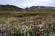 Alpine Tundra vegetation, in Denali National Park..