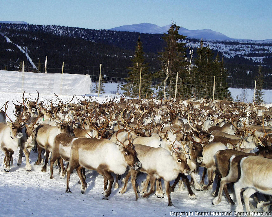 Southsami reindeer herding in Mid-Norway. Luru reinbeitedistrik (Låarte Sijte), Sørli i Lierne.