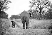 An African Elephant Mother and Baby walk away down a dirt path, South Africa.