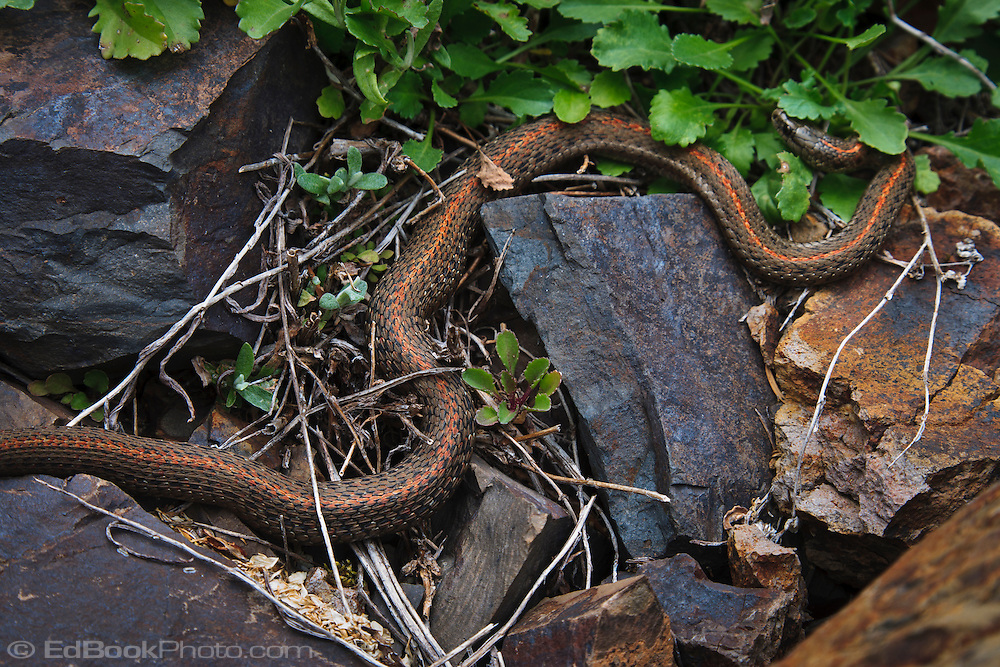 a garter snake with an orange stripe on its back rests camouflage between volcanic rocks with orange rust stains.