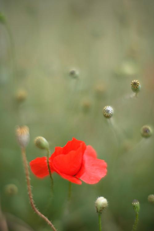 Common Poppy, Papaver rhoeas. Stenje region, Lake Macro Prespa (850m) <br /> Galicica National Park, Macedonia, June 2009<br /> Mission: Macedonia, Lake Macro Prespa /  Lake Ohrid, Transnational Park<br /> David Maitland / Wild Wonders of Europe