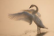 If I could, I'd spend all day with the beautiful trumpeter swans that frequent Yellowstone National Park. On this day, the hazy, smoke-filled sky added a ethereal quality to my images which I found fitting for this elegant bird.