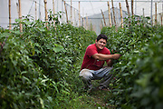 Victor Mejía, 30, caretaker of one of the greenhouses from the agricultural project ran by MUFRAS-32 named COPESENFRAS, checks the bell pepper plants. Pacific Rim's controversial El Dorado gold mine has been the focus of numerous social conflicts at local and national level. Three anti-mining local leaders were murdered in 2009. While a year before, former president Antonio Saca refused to authorize the company's mining permit. This action prompted Pacific Rim to invoked a provision of the Central American Free Trade Agreement (CAFTA) to place the matter in the hands of an international arbitration court. Oceana Gold, who took over Pacific Rim on October 2013 for US $10.2 million , now seeks US $300 million for damages agains the State of El Salvador. San Isidro, Cabañas, El Salvador. September 16, 2014.