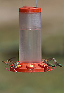 Rufous Hummingbirds - Selasphorus rufus & Black-chinned Hummingbirds - Archilochus alexandri