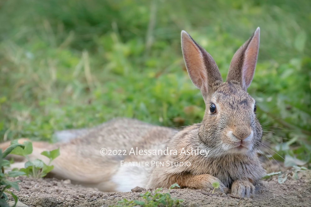 Eatern cottontail wild rabbit relaxing on a bed of freshly dug garden soil, just after taking a dust bath.