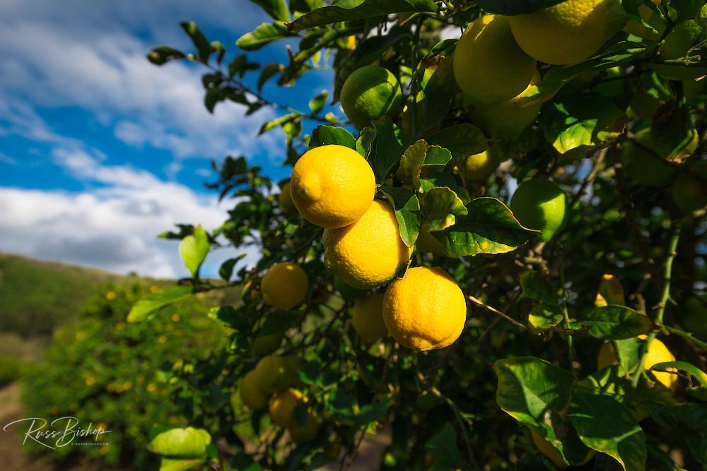 Lemon orchard in Wheeler Canyon, Ventura County, California