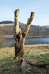 "Looking like a giant childs cataputly the remains of an old dead tree stand on the western bank of the Derwnt Reservoir in Derbyshire, England. The reservoir  is the middle of three reservoirs in the Upper Derwent Valley, the higher reservoir being Howden to the North and the lower being Ladybower to the south. Between them they provide practically all of Derbyshire's water, as well as to a large part of South Yorkshire and as far afield as Nottingham and Leicester.<br /> Begun in 1902 this neo-Gothic solid masonry dam wall is built from huge stones that were transported along a specially created railway from the quarries at Grindleford. Over 1,000 workers lived in a specially constructed and self-contained town of Birchinlee also known as ""Tin Town"". Derwent reservoir began being filled in November 1914, and overflowed for the first time in January of 1916. Covering an area of 70.8 hectares (175 acres) and at its deepest point is 34.7 metres (114 ft) the dam can support a total of 9.64 million cubic metres of water.<br /> For 6 weeks during the Second World War the reservoir was used by the pilots of the 617 Squadron ""the Dambusters"" to practice their low-level flying skills needed for Operation Chastise, because of the Derwents similarity to the operations German target. In for 2 weeks in 1954 the the sound of Lancaster bomber engines could be heard again over the Derwent as the reservoir stood in for the German dams a second time. This time for the filming of the ""The Dambusters"" starring Richard Todd as Guy Gibson. The west tower of the dam wall is home to Derwent Valley Museum and includes a permanent memorial to 617 Squadron to which is visible even when the Museum is closed. <br /> <br /> 22  March 2015 Image © Paul David Drabble www.pauldaviddrabble.co.uk"