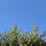 Close up shot of an Olive tree branch on the blue sky background