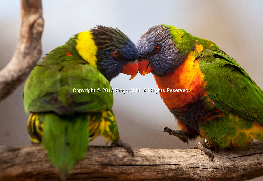 A pair of love rainbow lorikeets are seen at the Lorikeet Forest in the Aquarium of the Pacific on Sunday March 31, 2013 in Long Beach, California. (Photo by Ringo Chiu/PHOTOFORMULA.com).