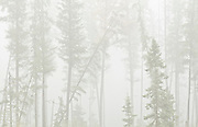 Trees of boreal forest in fog<br /> Ear Falls<br /> Ontario<br /> Canada