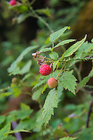 "This delicious little wild raspberry is found in most of the western states and in Canada's British Columbia, and if anyone has ever had candy, sno-cones, syrup or any other flavor called ""blue raspberry"" - this is the berry where that taste was modeled from. Any easy identification tool for this wonderful little fruit is the underside of the leaves, which are white. These were found growing in the Hoh Rainforest on Washington's Olympic Peninsula within sight of the Hoh River. I've personally found both the red and fully ripe black raspberries to be absolutely delicious!"