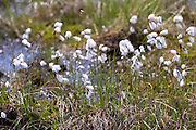 Bog Cotton white wild flower blowing in the wind on a turf, peat, bog in Western Scotland