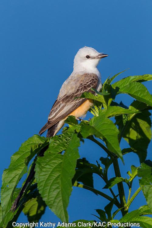 Scissor-tailed flycatcher; Austin; Hornsby Bend; Spring.; Texas; Tyrannus forficatus; Waste Water Treatment Plant