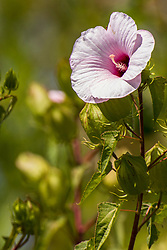 Swamp Rose Mallow - a member of the Hibiscus family.