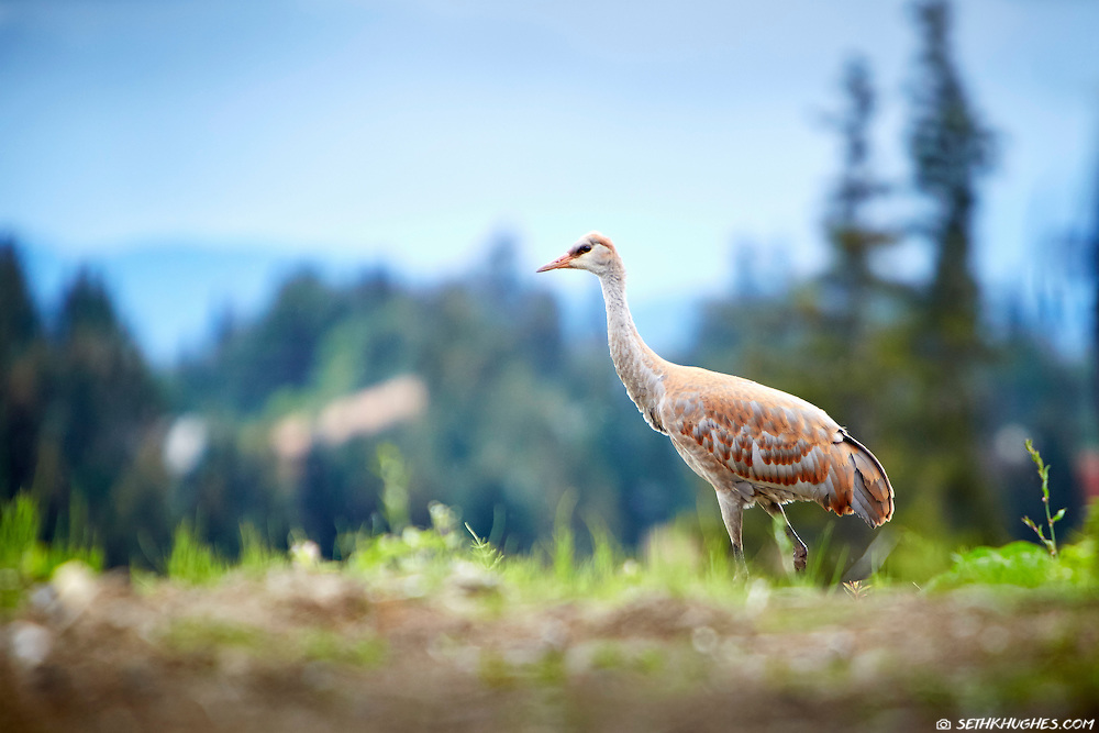 A sandhill crane, Grus canadensis, in Homer, Alaska.