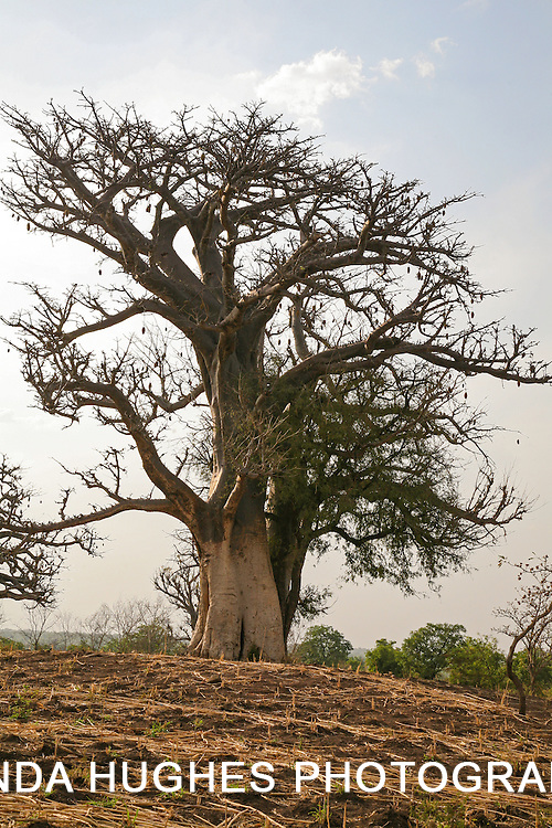 Baobab tree (Adansonia digitata) in the Upper West Region of Ghana West Africa