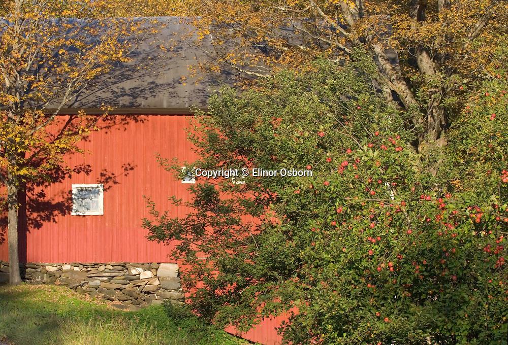 Barn and apple tree. Autumn