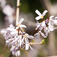White forsythia (Abeliophyllum distichum) has white (rather than yellow) flowers that open in early spring before true forsythia. It is a member of the olive family (Oleaceae). In early spring, before the new leaves form, purplish buds all along the grey naked branches open into small white four-petaled, almond-scented flowers with yellow stamens. After flowering, green, glossy abelia-like leaves appear.