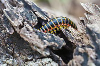 A colorful spring centipede burrows into a dark, moist cavity in a decaying log along the Appalachian Trail at G. Richard Thompson Wildlife Management Area in the Blue Ridge Mountains of Virginia.