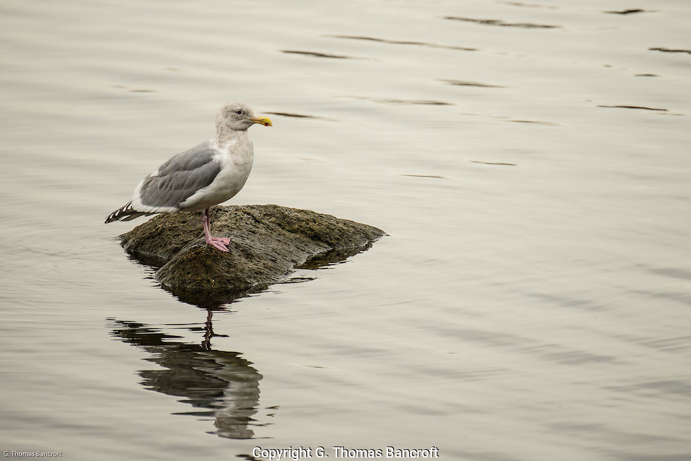 An adult glaucous-winged gull rests on a rock in Lake Washington