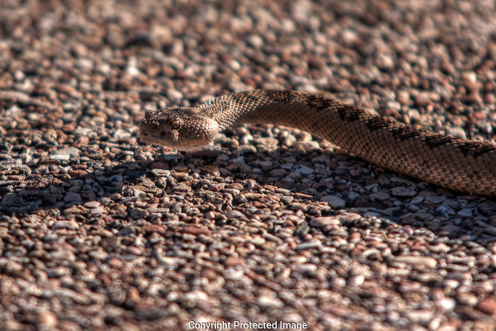 One of the most aggressive rattlesnake species, the  Mojave rattlesnake crossing highway in southwest Utah. I was on my elbows and knees when Darnell yelled to me that the snake was turning toward me and was only 2-3 feet from the end of my lens. It turned directly at me as you can see in the next image.  Use caution when attempting to photograph rattlesnakes, their bite can be fatal.  DO NOT attempt to shoot close-up images unless experienced.