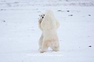 01874-11816 Polar Bears (Ursus maritimus) sparring / fighting in snow, Churchill Wildlife Management Area, Churchill, MB Canada