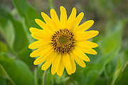 Balsamroot blooming at Tom McCall Preserve at Rowena Crest, Columbia River Gorge National Scenic Area, Oregon.