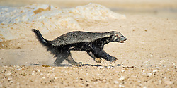 "EXCLUSIVE: THIS HONEY BADGER IS DEFINITELY NOT SWEET – AMAZINGLY ANGRY ANIMAL CHALLENGES A HUGE ANTELOPE AND DOESN'T BACK DOWN DESPITE BEING SENT FLYING There's nothing sweet about this honey badger, the amazingly angry animal which challenges anything that comes close – even horned antelopes 20 TIMES bigger than it is. Wildlife photographer Dirk Theron, 45, captured some stunning photos of the spaniel-sized badger tussling with a huge oryx antelope. As these pictures show, incredibly the badger challenged the much-larger animal to a fight at a waterhole, even though an oryx comes equipped with impaling metre-long horns. Despite being hurled through the air like a rag doll the honey badger kept coming back for more, biting at the antelopes ankles, before eventually the bemused herbivore left the scene. Lions have been known to walk around honey badgers rather than getting close, such is their reputation for ferocity, which is matched only by their northern cousin, the wolverine. And on the next day the same honey badger was photographed by Dirk, this time chasing away a jackal. Dirk said this particular badger wasn't sick or injured, it just didn't like other animals getting too close to it at a waterhole. The images were taken in Etosha National Park, Namibia, and have recently been featured in an African wildlife blog. Dirk said: ""It was our first day in Etosha and this waterhole is one of my favourites because of the angle of the afternoon sun. ""We were sitting there for a while with not much going on and we were actually thinking of going back to camp, which somebody excitedly said the words 'honey badger'. ""You don't often get to show people a honey badger in the wild, few people believe you when you try and explain how ferocious and dangerous these guys are. ""Well, this one as about to do a show and tell for us. It all happened so quick and was over in a few short minutes. You can spend years in the wild and never see anything like th"