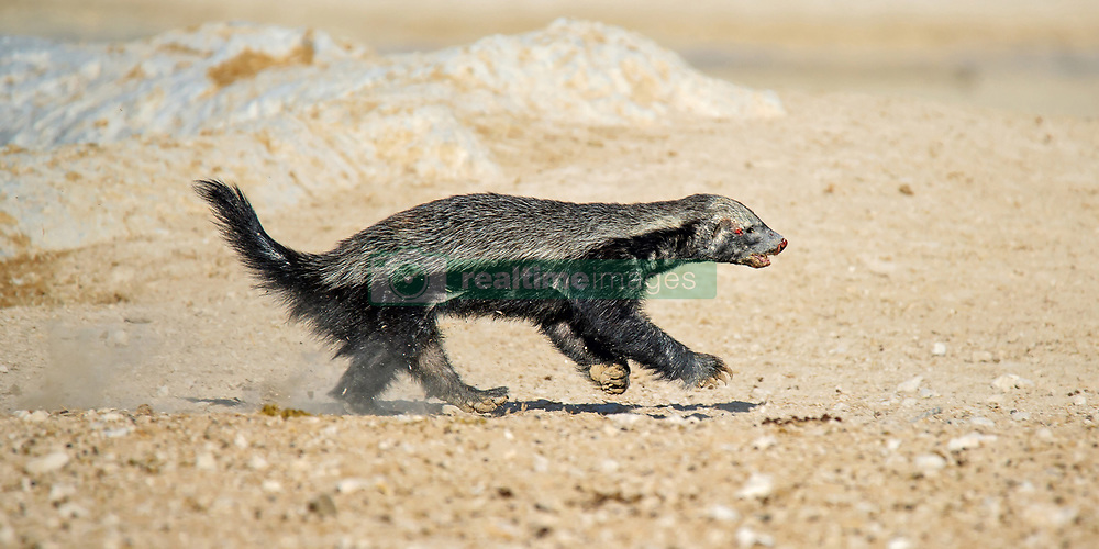 """EXCLUSIVE: THIS HONEY BADGER IS DEFINITELY NOT SWEET – AMAZINGLY ANGRY ANIMAL CHALLENGES A HUGE ANTELOPE AND DOESN'T BACK DOWN DESPITE BEING SENT FLYING There's nothing sweet about this honey badger, the amazingly angry animal which challenges anything that comes close – even horned antelopes 20 TIMES bigger than it is. Wildlife photographer Dirk Theron, 45, captured some stunning photos of the spaniel-sized badger tussling with a huge oryx antelope. As these pictures show, incredibly the badger challenged the much-larger animal to a fight at a waterhole, even though an oryx comes equipped with impaling metre-long horns. Despite being hurled through the air like a rag doll the honey badger kept coming back for more, biting at the antelopes ankles, before eventually the bemused herbivore left the scene. Lions have been known to walk around honey badgers rather than getting close, such is their reputation for ferocity, which is matched only by their northern cousin, the wolverine. And on the next day the same honey badger was photographed by Dirk, this time chasing away a jackal. Dirk said this particular badger wasn't sick or injured, it just didn't like other animals getting too close to it at a waterhole. The images were taken in Etosha National Park, Namibia, and have recently been featured in an African wildlife blog. Dirk said: """"It was our first day in Etosha and this waterhole is one of my favourites because of the angle of the afternoon sun. """"We were sitting there for a while with not much going on and we were actually thinking of going back to camp, which somebody excitedly said the words 'honey badger'. """"You don't often get to show people a honey badger in the wild, few people believe you when you try and explain how ferocious and dangerous these guys are. """"Well, this one as about to do a show and tell for us. It all happened so quick and was over in a few short minutes. You can spend years in the wild and never see anything like th"""