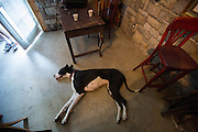 Great Dane, Daisy, lays inside the tasting room as visitors taste wine and watch the San Francisco 49ers playoff game at Big Dog Vineyards in Milpitas, California, on January 5, 2014. Big Dog Vineyards is open for wine tasting the first full weekend of each month and is located at 4545 Felter Rd. (Stan Olszewski/SOSKIphoto)