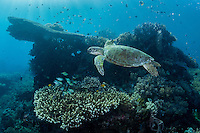Green Turtle, coral head, and Sunrays<br /> <br /> Shot in Indonesia