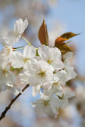 Prunus 'Taihaku' AGM - Great White Cherry