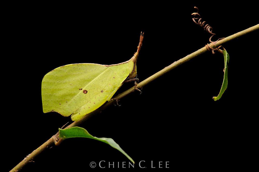 Leaf Grasshopper (Systella sp.). Sarawak, Malaysia.