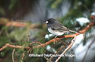 01569-008.15 Dark-eyed Junco (Junco hyemalis) in winter Marion Co.   IL