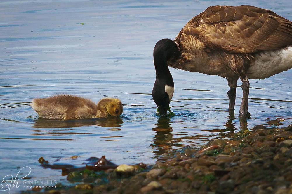 Goose and gosling - Gilmur Shoreline - Northeast Tacoma, WA