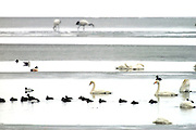 Kushiro - Thursday, Jan 20 2005: Swans, cranes and ducks forage for food on the semi frozen Kushiro Lake, Japan. (Photo by Peter Horrell / http://www.peterhorrell.com)