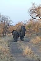 Young elephants leave