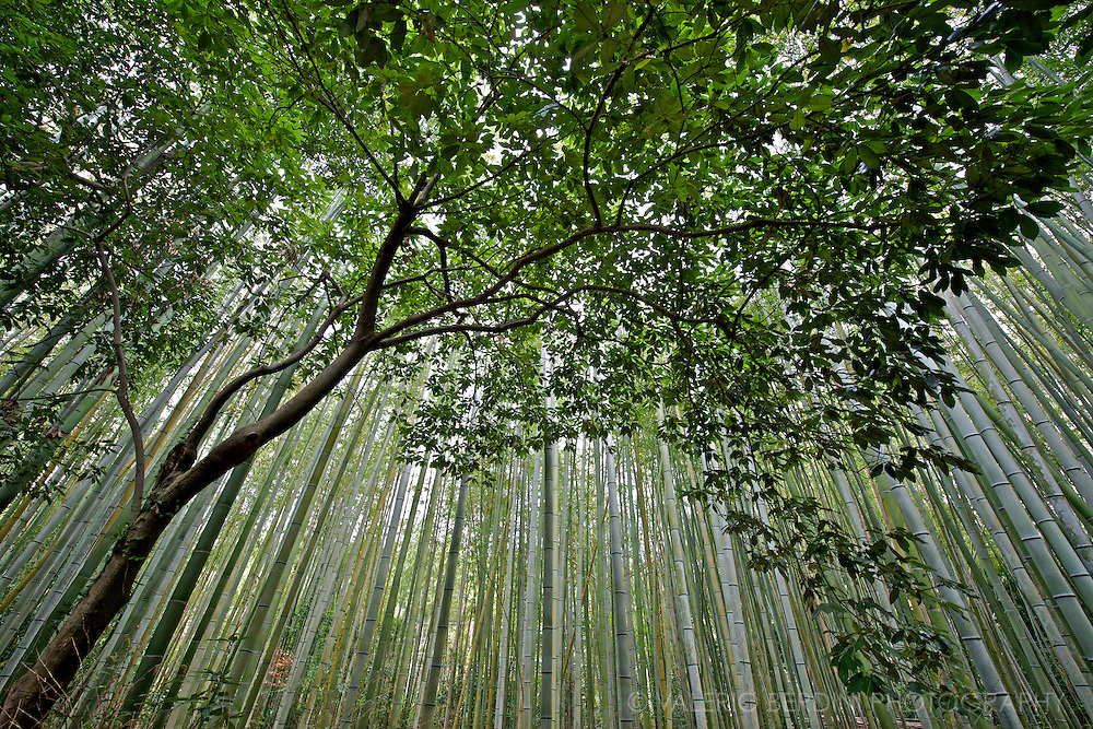 A tree stand in front of the bamboo forest in Arashiyama, a green oasis 30 minute train ride north west of Kyoto in Japan..