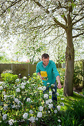 Feeding a viburnum with granular fertiliser in spring