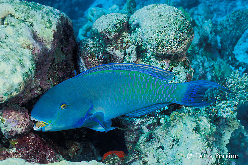 Indian Ocean steephead parrotfish, Scarus strongylocephalus, feeding on algae growing on dead coral, Marchengrotte, Helengeli, Maldives ( Indian Ocean )