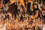 Tobacco leaves are hand-sewn to wooden dowels and hung to dry before being rolled into cigars.