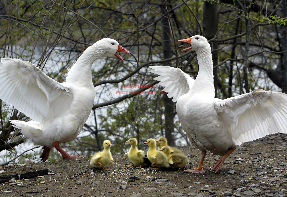 Baby white Geese, presumably with their parents, along Boston's Charles River.