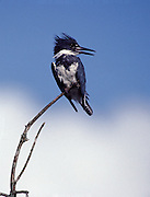 Belted Kingfisher (Ceryle alcyon) searching over swamp- Mississippi.